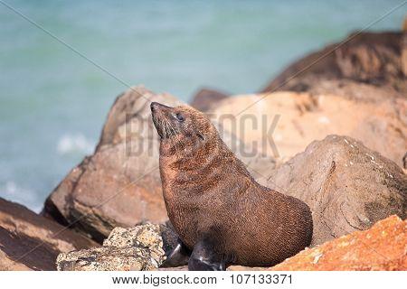 New Zealand Fur Seal (arctocephalus Forsteri).