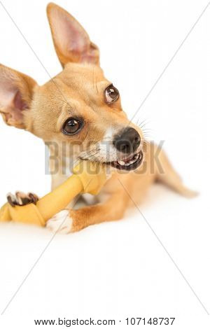 Cute dog chewing bone toy on white background poster