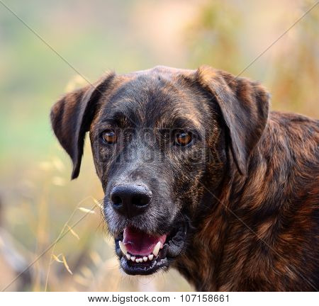 Canary dog
