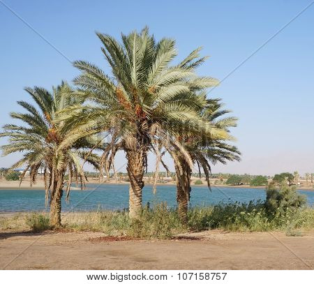 Palms and fields on Nile riverside