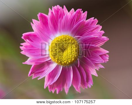 Single bright pink and yellow everlasting flower, a popular Australian wildflower. poster