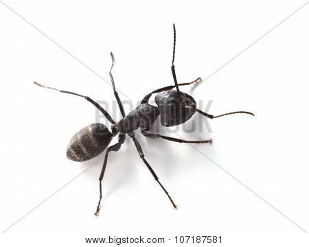 Macro Of Ant Over White