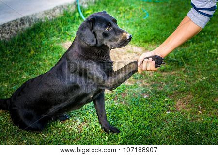 Trained Dog Labrador Extends Hand To A Human