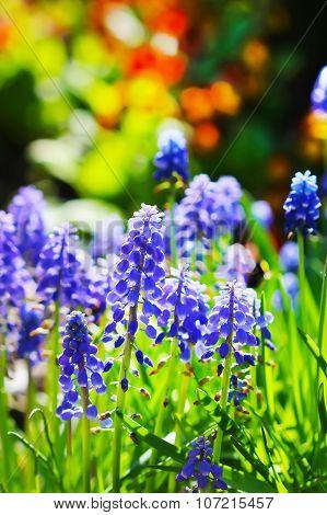 Muscari, or murine hyacinth or Muscari (Latin Muscari)