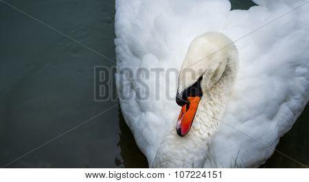 Mute swan Cygnus olor.  Close ups in his pond.