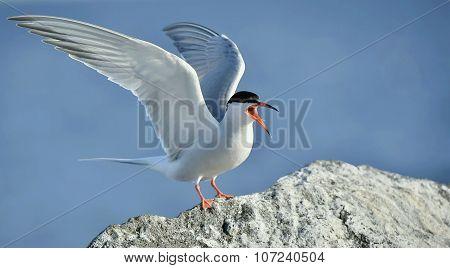 Flitting  The Common Tern (sterna Hirundo) On Blue Sky Background