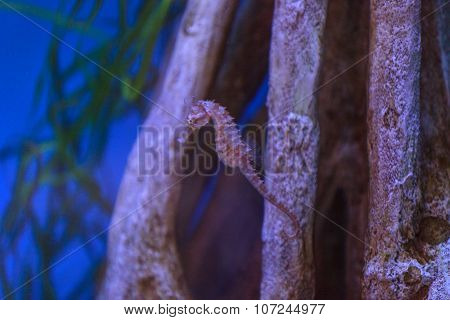 Zebra snout seahorse, Hippocampus barbouri