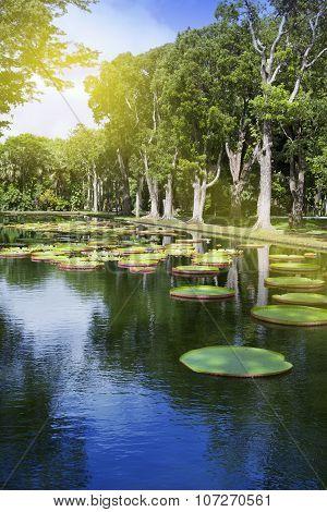 The lake in park with Victoria amazonica Victoria regia. Mauritius.