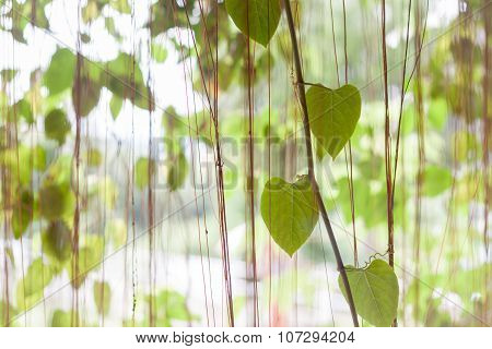 Green Leaves Hanging In Home Garden