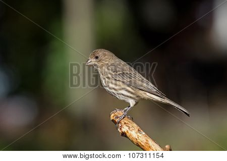 House Finch on Limb