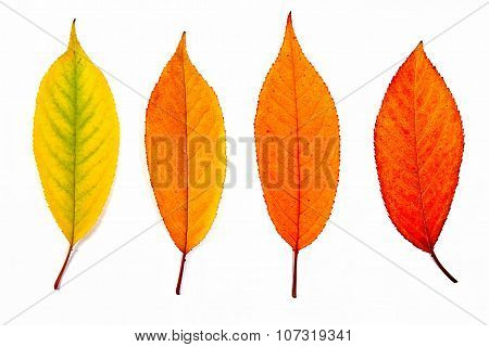 Collection Autumn Leaves Of Cherry Tree Isolated On White.