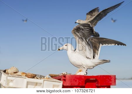 Herring gull (Larus Argentatus) landing on a crate filled with freshly fished scallops
