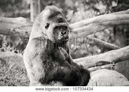 Silverback Gorilla Black and White