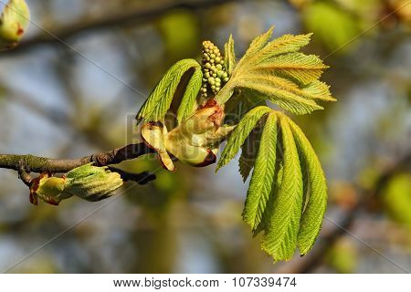 Inflorescences And Young Leaves Of Chestnut (lat. Castanea)