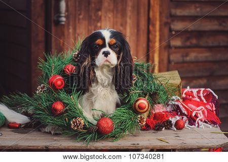cavalier king charles spaniel dog with christmas wreath and decorations at cozy country house