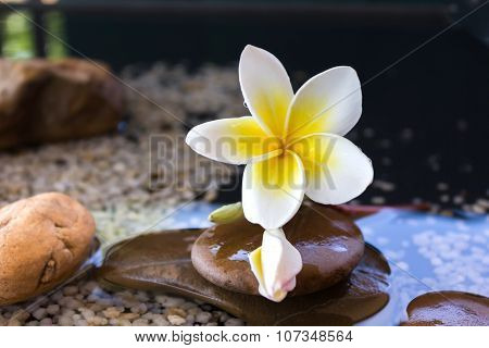 plumeria or frangipani decorated on water and pebble rock