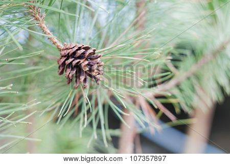 Branch Of Tree With Pine Cones