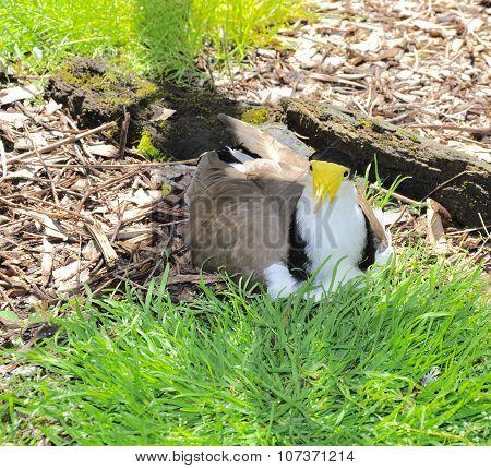 Masked Lapwing: Western Australia