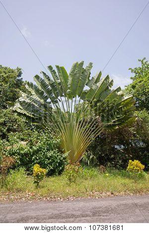 Tree of travellers. Ravenala madagascariensis. palm tree poster
