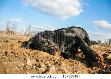 Happy purebred black dog enjoys himself in sand. Flat coated retriever