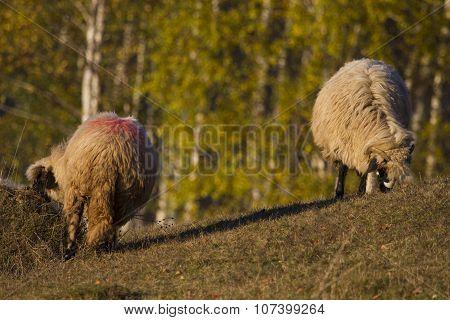 sheep grazing on field