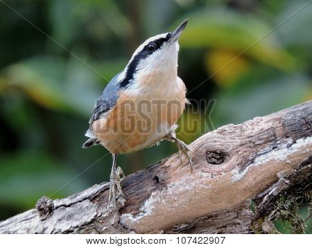 Close up image of red-breasted nuthatch on old branch