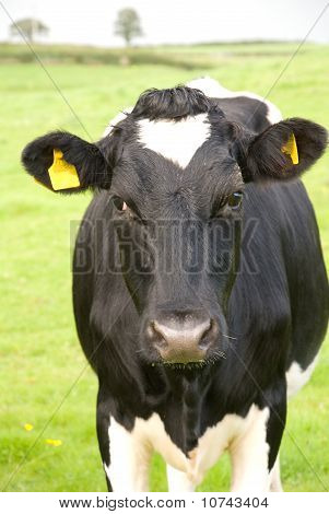 Black And White Cow In Pasture