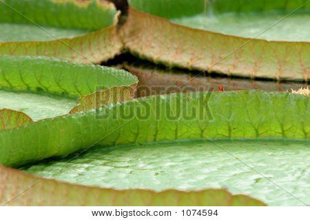 Victoria Amazonica Leaves (Close Up)