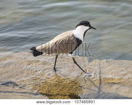 Spur Winged Plover Wading In Water