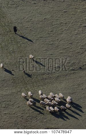 Woman With Sheep Herd
