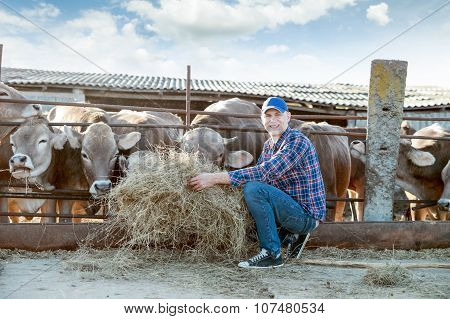 Farmer is working on farm with dairy cows