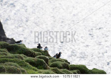 Atlantic Puffin, Fratercula Arctica