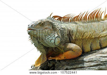 Giant  Iguana Close Up.