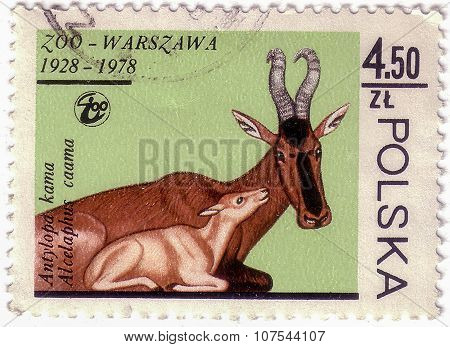 Poland - Circa 1978: A Stamp Printed In Poland, Shows Image Of A Przewalski Mare And Colt, From The