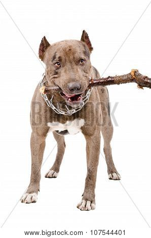 Pit bull gnaws a stick