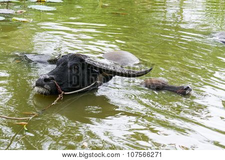 Black Buffalo In The Pond