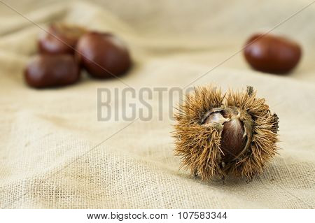 Chestnut Burr Close-up On Beige Cloth