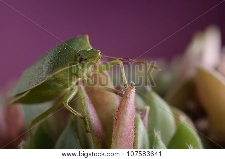 Green Insect Stinkbug On Sempervivum  Succulent Plant Against Pink Background