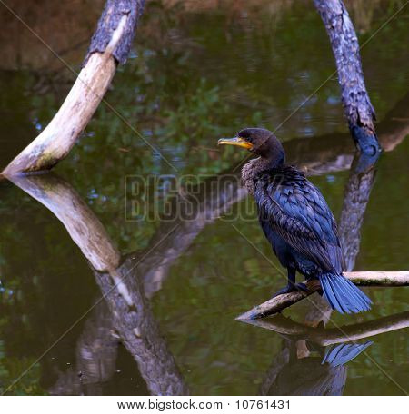 Portrait of Cormorant perched on branch over water poster