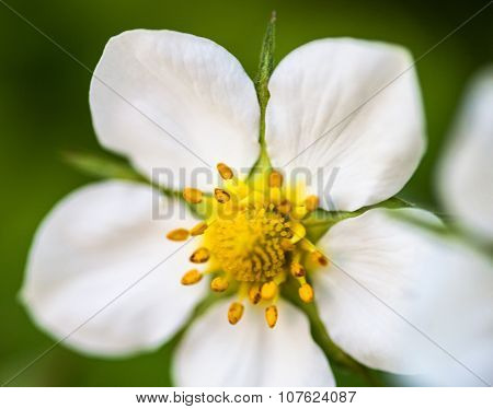 White Flower Of The Wild Strawberry (fragaria Vesca)