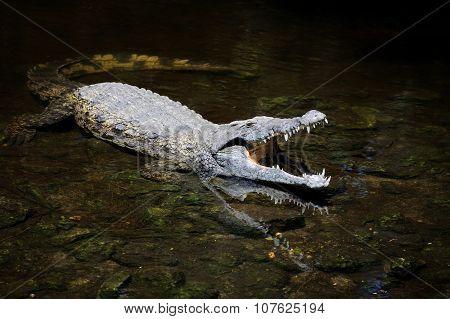 Big Crocodile In Water