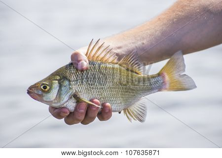 A freshly caught freshwater drum fish in lake Erie, Ontario, Canada.