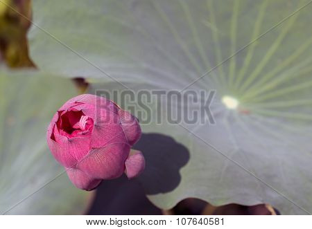 Lotus Flower Planting Insect Re-population Asia
