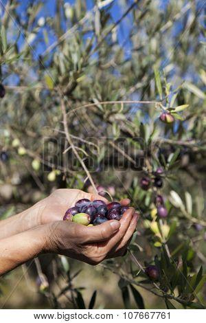 Handful of freshly-harvested olives