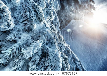 Beautiful winter background, fresh fir tree branches covered with snow, bright sunny cold frosty day, Christmas holidays, beauty of a wintertime weather