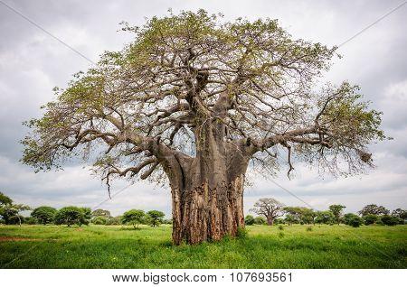 Huge Baobab Tree In Tarangire Park, Tanzania
