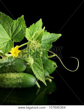 Cropped shot raw cucumbers with flower budleaves and tendrils isolated on black background poster
