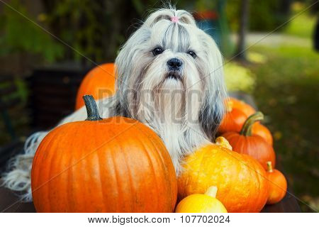 Shih tzu dog sitting on table with pumpkins.