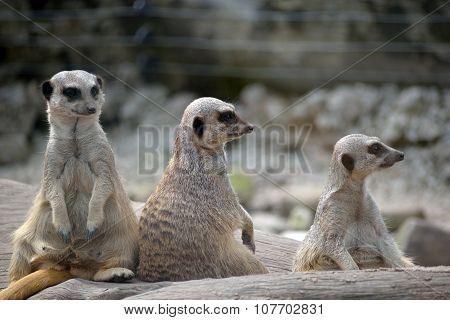Meerkats In Fota Wildlife Park