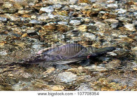 Male Pink Salmon in Stream